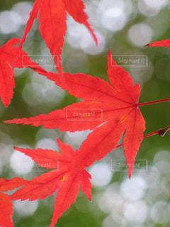 金剛輪寺の真っ赤な紅葉の写真・画像素材[1625177]