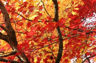 京都の鮮やかな紅葉の写真・画像素材[1635497]