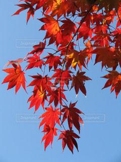 永源寺の真っ赤な紅葉の写真・画像素材[1635501]