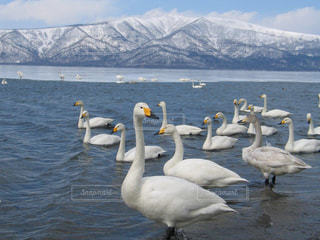 自然,空,鳥,雪,屋外,湖,白,雲,青空,水,雪山,北海道,山,景色,美しい,旅行,白鳥,ホワイト,阿寒湖,水鳥,フォトジェニック,インスタ映え