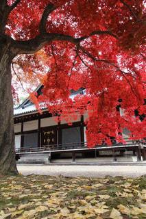 愛宕念仏寺の真っ赤な紅葉と枯葉の写真・画像素材[1668899]