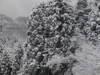 雪吹雪く樹木の雪化粧の写真・画像素材[1732968]