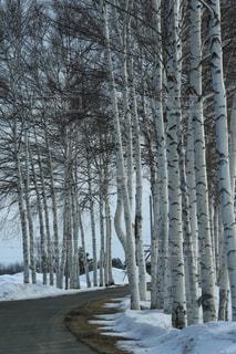 網走の白樺の雪景色の写真・画像素材[1733851]