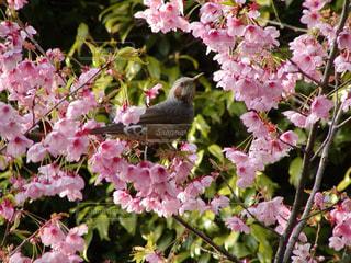 ピンクの桜の花とウグイスの写真・画像素材[1791386]