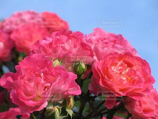 六華苑の上品なピンク色のバラの写真・画像素材[1792251]