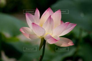 神聖な淡いピンク色のハスの花の写真・画像素材[1792403]