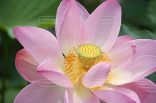 淡いピンク色のハスの花アップの写真・画像素材[1792435]