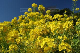 渥美半島の美しく眩しい菜の花の写真・画像素材[1825751]