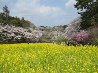 浜松フラワーパークの美しい菜の花と桜と梅の花の写真・画像素材[1825762]