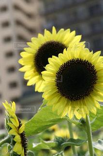 マンションをバックに咲く凛としたヒマワリの花の写真・画像素材[1829799]