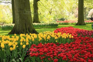 自然,風景,花,カラフル,黄色,ヨーロッパ,景色,チューリップ,鮮やか,樹木,旅行,オランダ,赤色,海外旅行,yellow,フォトジェニック,黄緑色,キューケンホフ公園,インスタ映え