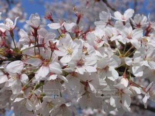 自然,風景,空,花,春,桜,屋外,カラフル,青空,花見,景色,花びら,お花見,白色,ホワイト,桃色,応援,愛知県,想い,淡い,フォトジェニック,思い,気持ち,エール,インスタ映え