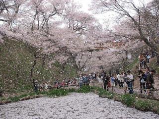 信州高遠の桜吹雪の花見風景の写真・画像素材[1857246]
