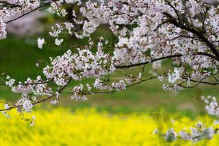 穏やかな美しい桜と菜の花風景の写真・画像素材[1857546]