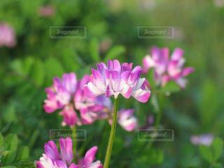 信州の美しいレンゲ畑の写真・画像素材[1885330]