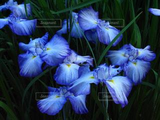 妖艶な美しい青紫色の菖蒲の写真・画像素材[1910947]
