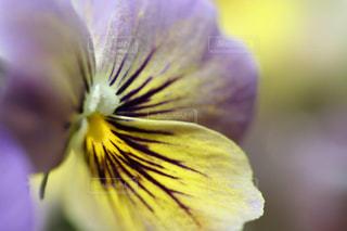 春の美しいビオラのささやきの写真・画像素材[1925165]