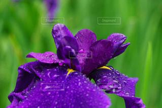 雨音の中の美しい菖蒲の花びらの雫の写真・画像素材[2109835]