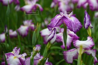 雨の日のしっとり咲く美しい菖蒲の写真・画像素材[2165897]