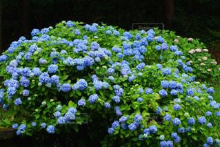 雨の日のイキイキした花束のような美しい紫陽花の写真・画像素材[2165916]