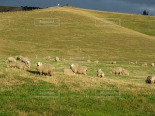 ニュージーランドハイキングで可愛い羊達に遭遇の写真・画像素材[2216091]