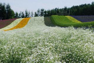 富良野のふわふわのお花畑の写真・画像素材[2283626]