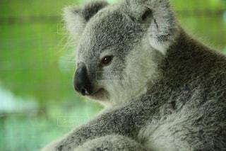 可愛いふわふわのコアラを抱っこした思い出の写真・画像素材[2288828]