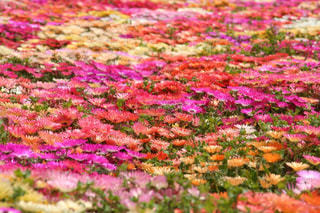 キラキラ輝くカラフルなお花畑の写真・画像素材[2369477]