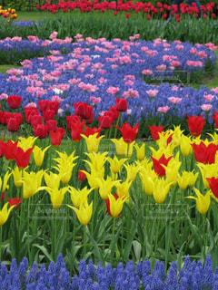 カラフルなキューケンホフ公園のチューリップとムスカリの花の写真・画像素材[2369775]