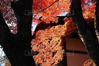 歴史を感じるお寺の紅葉の写真・画像素材[2515531]