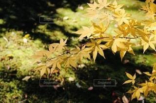 趣き深い苔と黄色の紅葉の写真・画像素材[2515565]