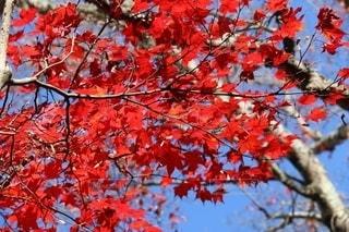青空に映える真っ赤な紅葉の写真・画像素材[2515635]