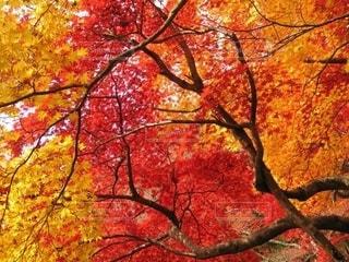 絵画のように美しい紅葉の写真・画像素材[2575648]