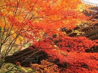 燃ゆる秋を感じるお寺の紅葉の写真・画像素材[2575721]