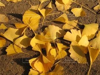 懐かしい銀杏の葉の写真・画像素材[2618497]