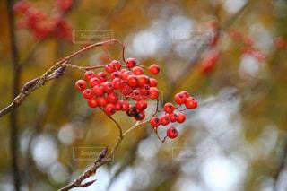 晩秋のナナカマドの赤い実の写真・画像素材[2802080]