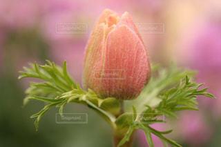 淡いピンクに包まれての写真・画像素材[3011260]