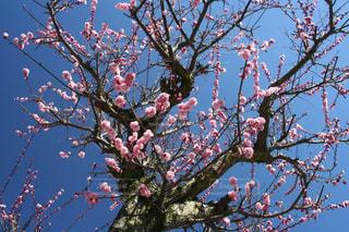 繊細なピンクの梅の花の写真・画像素材[3015445]