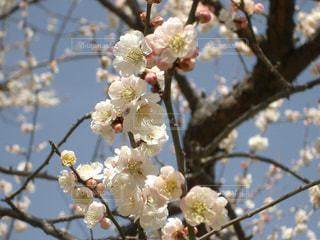 風情ある優しい白い梅の花の写真・画像素材[3015503]