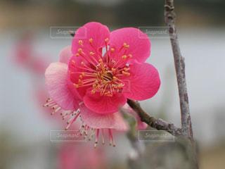 可憐なピンクの梅の花の写真・画像素材[3015566]