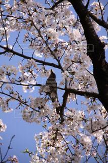 自然,風景,空,花,春,桜,鳥,木,屋外,京都,ピンク,青空,枝,花見,景色,樹木,お花見,イベント,さくら,ウグイス,ブロッサム,インスタ映え,情緒的
