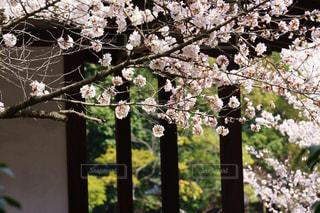 情緒的な京都のお寺の桜の写真・画像素材[3039175]