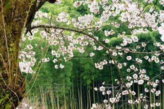 心和む竹林と桜の風景の写真・画像素材[3039199]