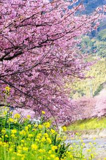 菜の花と河津桜の木の下でお花見の写真・画像素材[3039275]