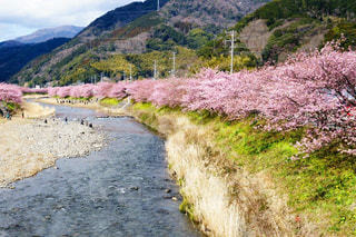 川沿いの美しい河津桜並木の写真・画像素材[3039385]