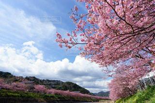 青空と河津桜の並木道の写真・画像素材[3039436]