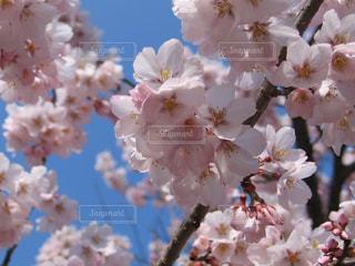 自然,風景,空,春,桜,木,ピンク,青空,花見,景色,花びら,鮮やか,満開,優しい,お花見,イベント,長野県,クローズアップ,さくら,ブロッサム,インスタ映え,高遠