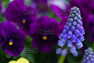 落ち着く深い紫色のビオラの写真・画像素材[3059871]
