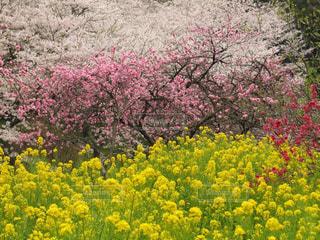 桜、梅、菜の花の三重唱で春爛漫の写真・画像素材[3060354]