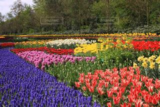 キューケンホフのカラフルな庭園の写真・画像素材[3074419]